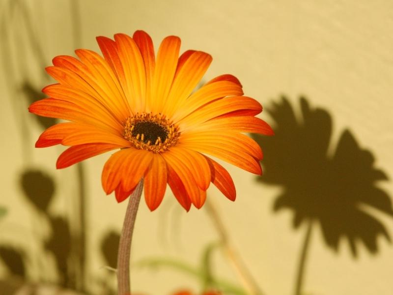Арктотис - описание цветка