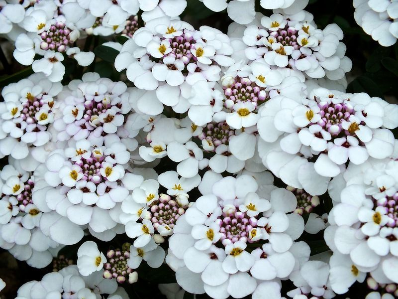 Размножение ибериса и использование в саду