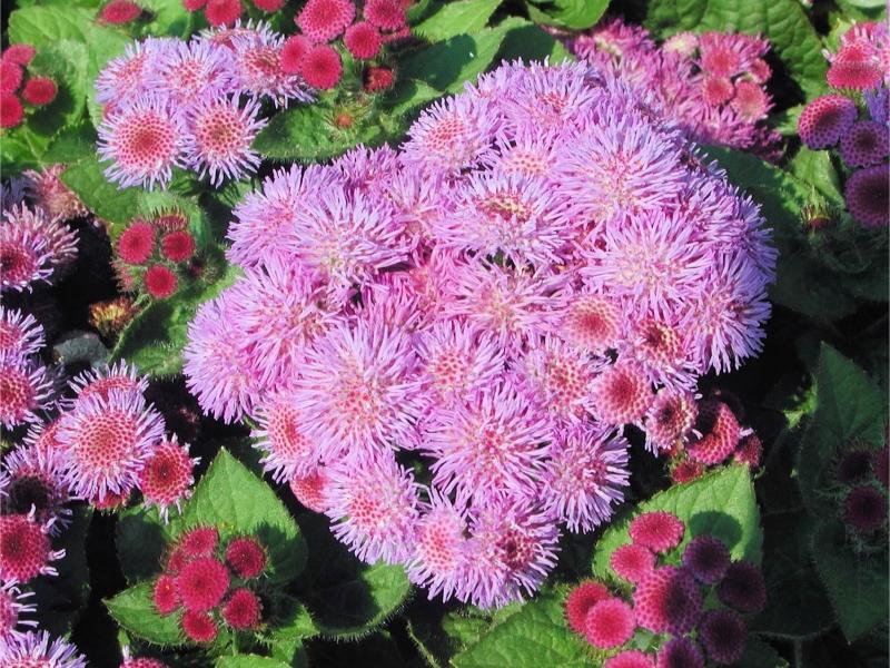 Характеристики цветка Агератум