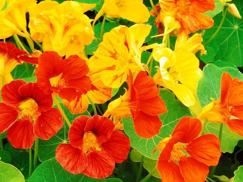 Настурция - описание цветка