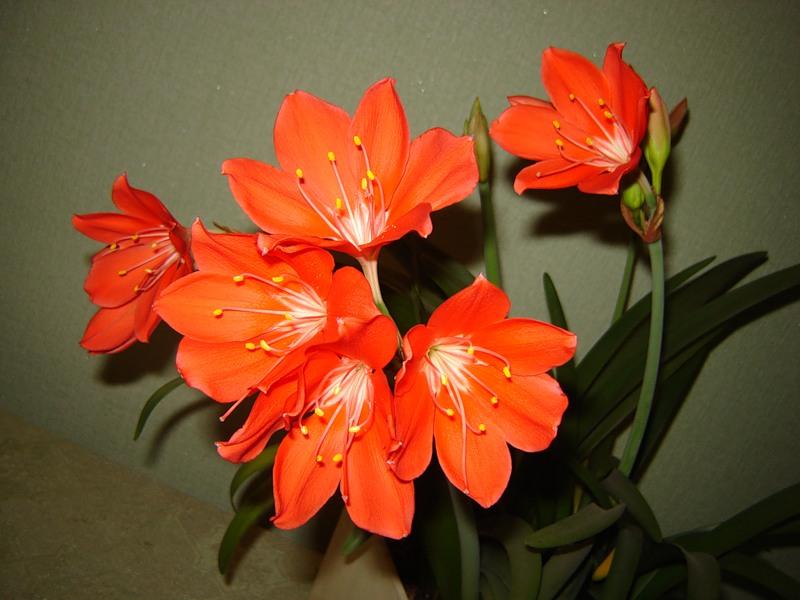 Особенности цветка Валотта
