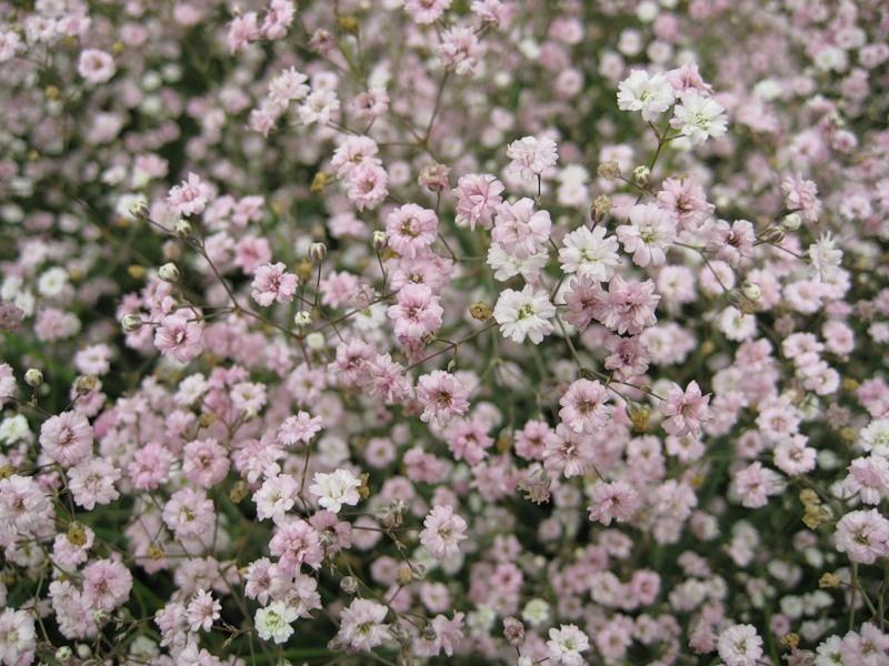 Характеристики цветка Гипсофила