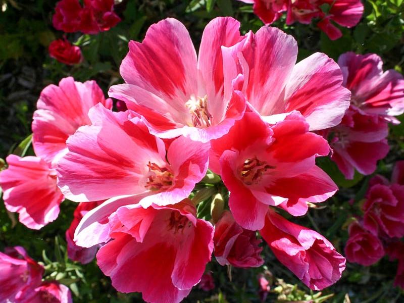 Кларкия махровая - описание цветка