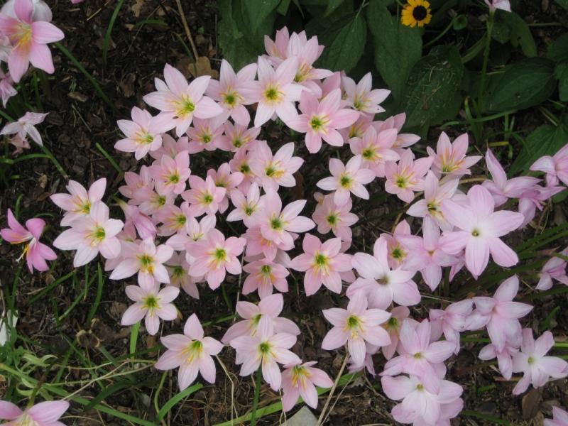 характеристики цветка Зефирантес