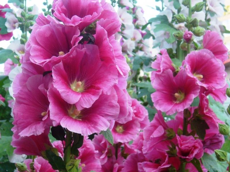 Мальва - описание цветка