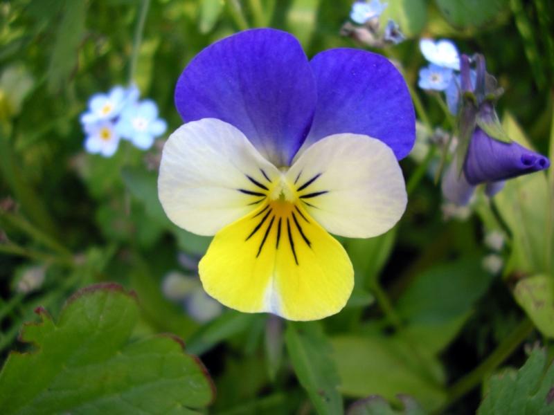 Выращивание и уход за Анютиными глазками