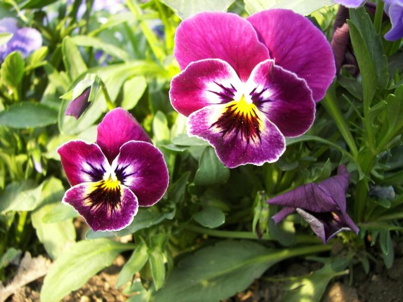 Высаживание семян Анютиных глазок