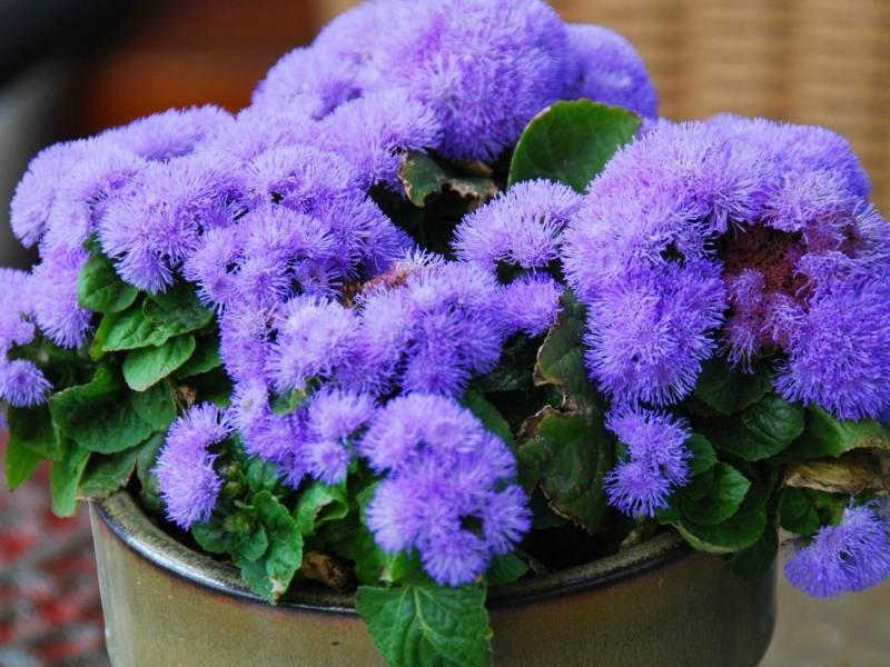Агератум - описание цветка