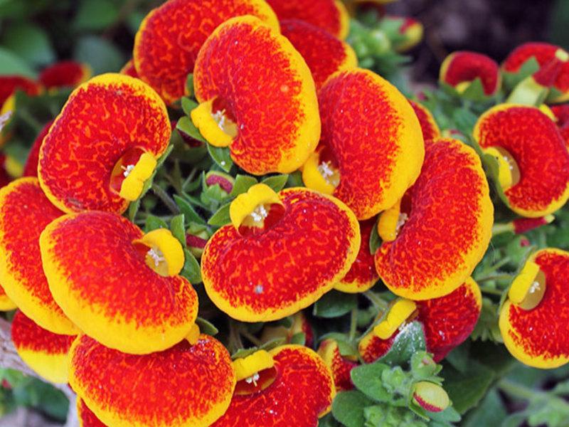 Кальцеолярия - описание цветка