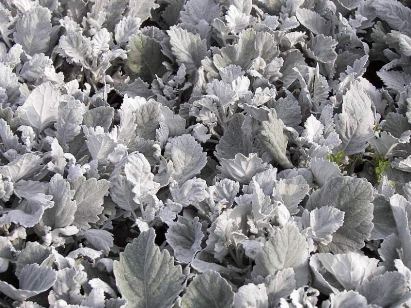 Посадка и выращивание цинерарии приморской