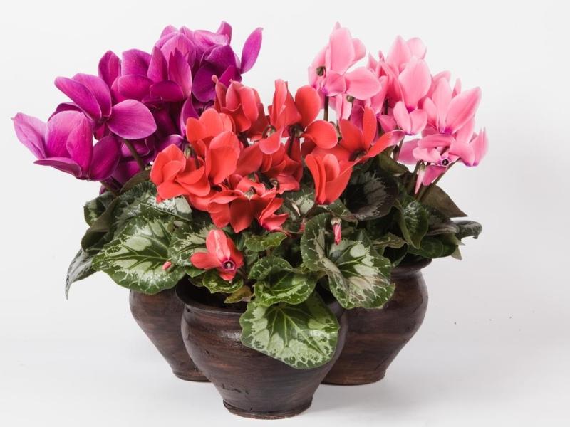 Цикламен - описание цветка