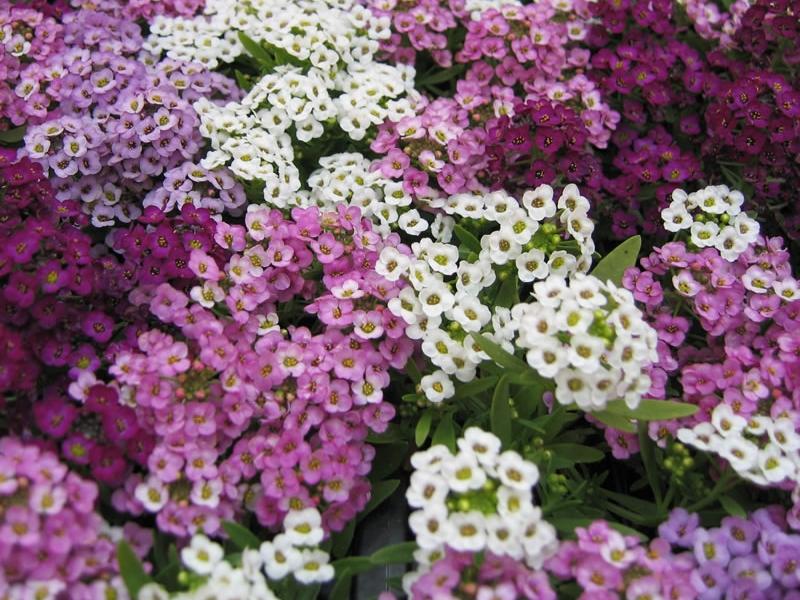 характеристики цветка Алиссум