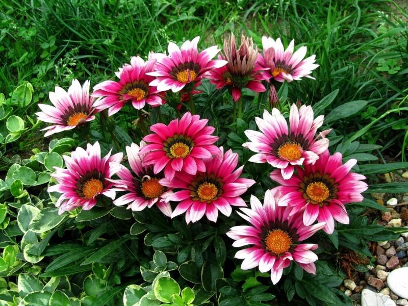 Гацания - описание цветка