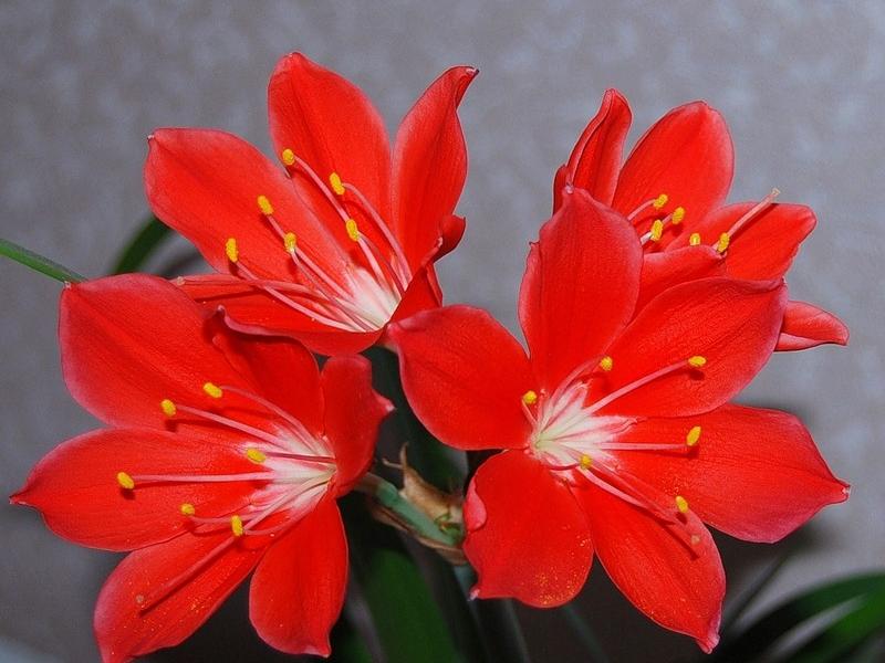 Характеристики цветка Валотта
