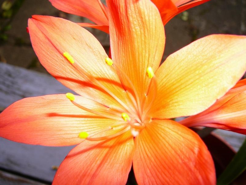 сорта и виды Валотты
