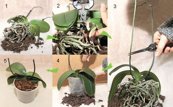 пересадка орхидей пошагово