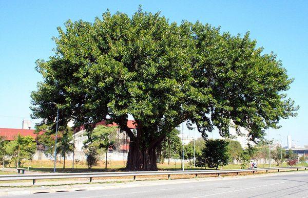 Эластика дерево