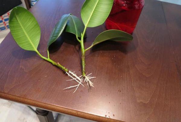 размножение робуста