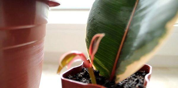 размножение фикуса из листа