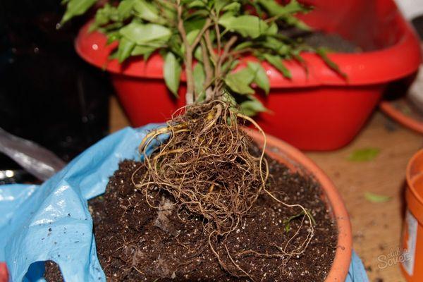 Размножение фикуса в домашних условиях новые фото