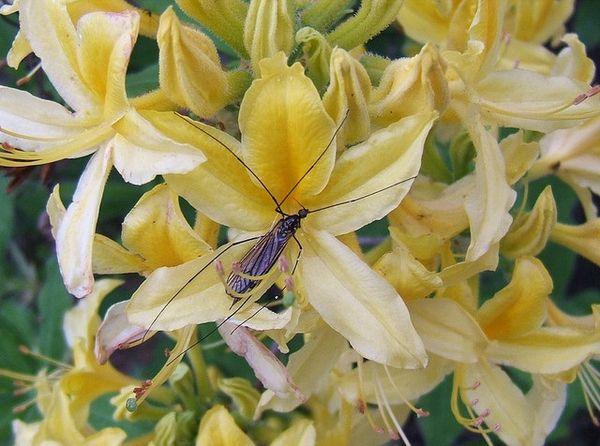 хищная орхидея