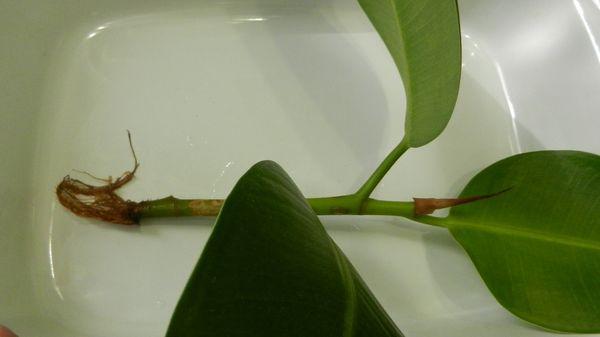 черенкование фикуса