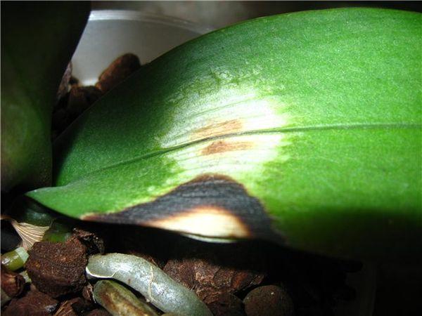 пятнистость листьев орхидея