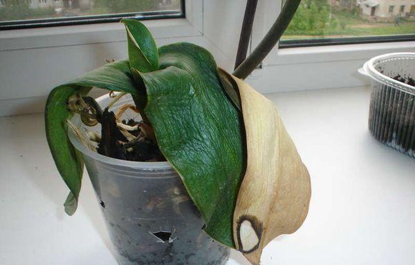 орхидея болеет