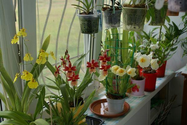 орхидея виды