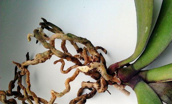 корневая гниль орхидея
