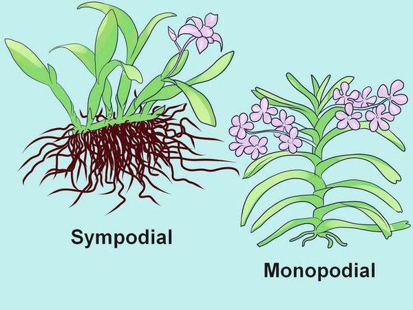 симпоидальные монопоидальные растения