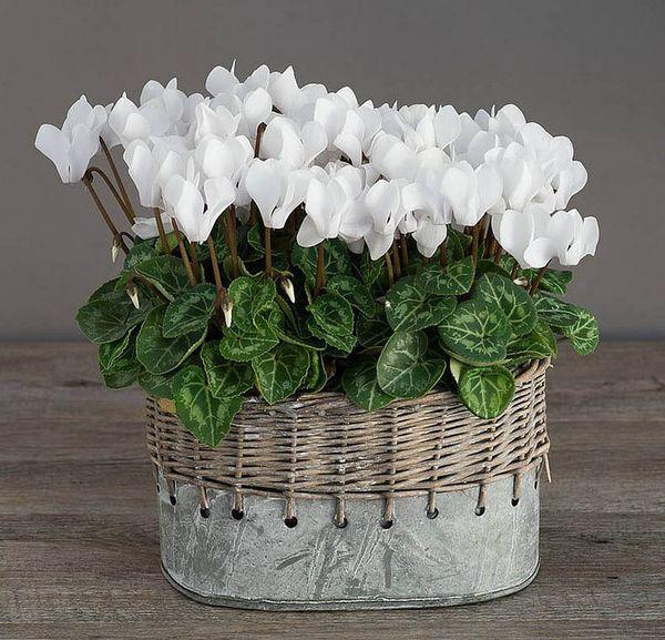 Растение цикламен уход в домашних условиях 75