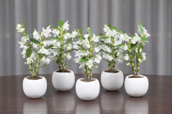 Орхидея дендробиум и фаленопсис уход в домашних условиях 13