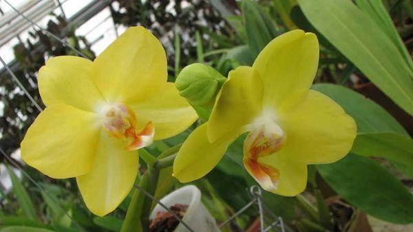 желтый фаленопсис