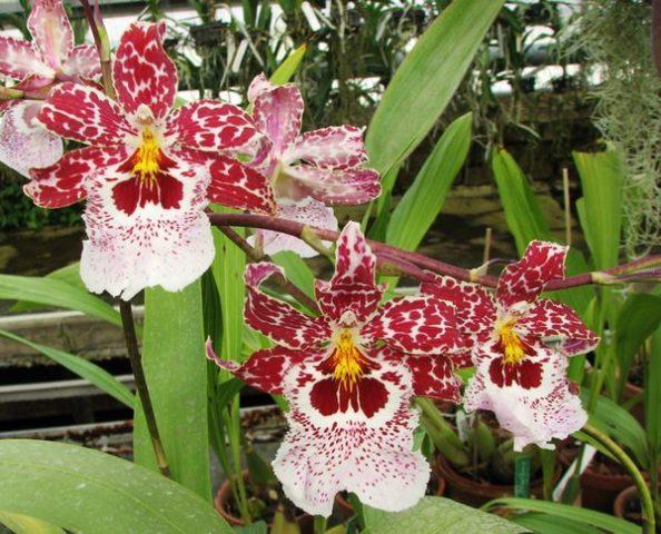 камбрия цветки