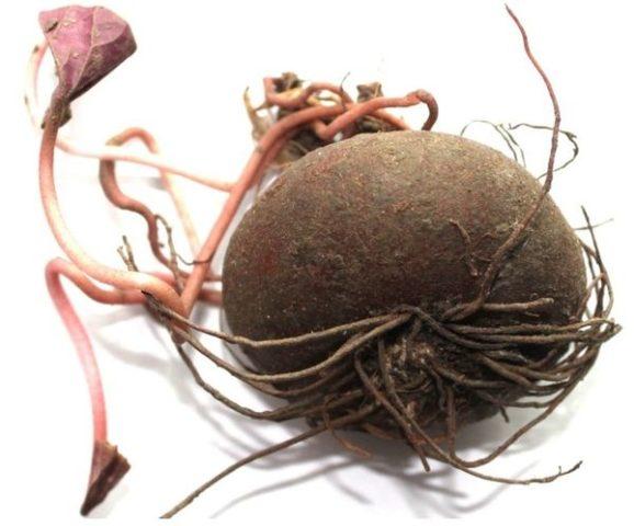 корни цикламена