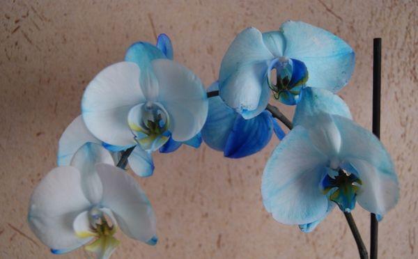 крашенный голубой фаленопсис