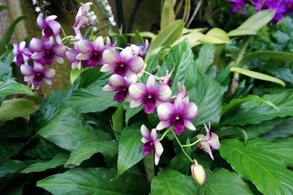 орхидея мильтассия