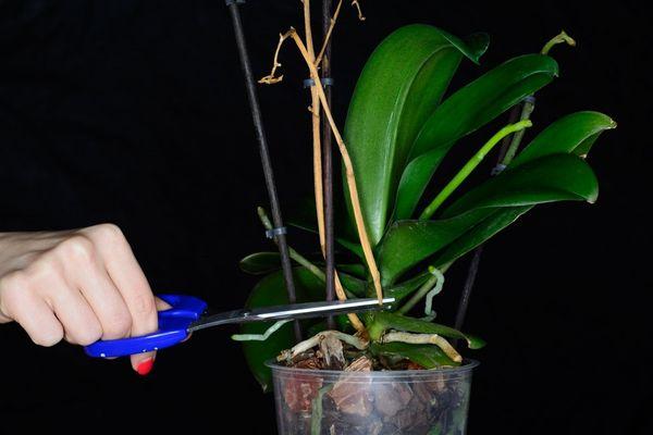 Орхидея: сколько цветет в домашних условиях, что делать когда отцвела