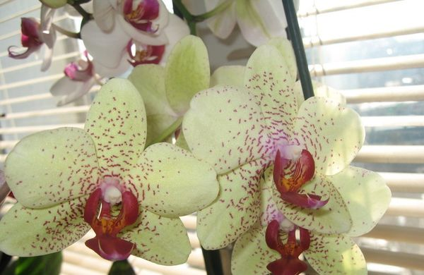 орхидея окно