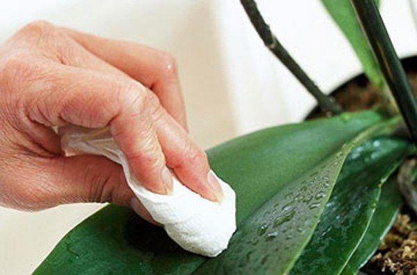 протираем листья орхидеи