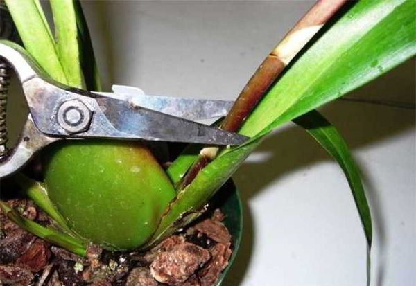 деление розетки орхидея