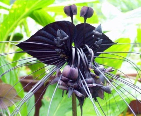 темно синяя орхидея