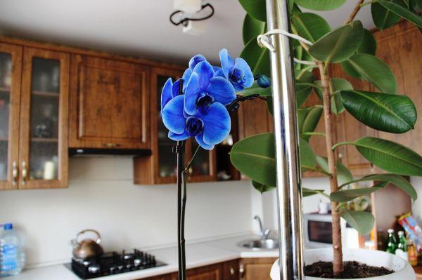 голубой фаленопсис дома