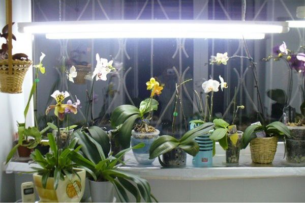 Искусственное освещение для орхидей в домашних условиях