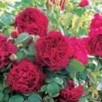 Английская парковая роза Вильям Шекспир