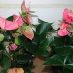 Антуриум Lentini pink