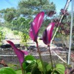 Антуриум Tulip