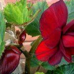 Бегония Дак Ред (BegoniaDark Red)