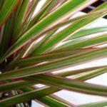 Драцена marginata bicolor